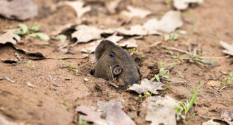 Recent News Regarding the Thurston County Pocket Gopher Issue